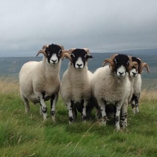 If you love all things sheep and wool join me in a live chat with Ruth of Herd tomorrow. Thursday, 1:30pm UK time. Thanks for inviting me Ruth! Ruth has a real value and ethic for British wool and is turning it into beautiful knitwear. I look forward to hearing her insight and will talk about our wool breeds and farming with nature here in the Yorkshire Dales #wool #fleece #sheep #fiber #swaledale #wensleydale #bluefacedleicester Photo: Swale Tups