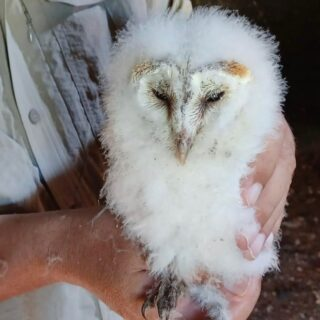 Female Barn Owl chick - what a beaut! The late late Spring has meant our upland Barn Owls haven't been so prolific this year. One pair produced this chick, the other just very happy in the box together with no eggs or chicks. One female is a big age now which may be a factor - she arrived 5 years ago and has reared 22 chicks! #barnowl #owl #raptor #farm #farmlife #yorkshiredales #bird #nature