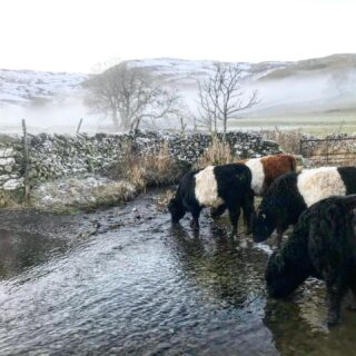 New Years Day rehydration - who else needs it? #happynewyear #cows #beltedgalloway #cow #farmlife #malham #beck #drink #hills