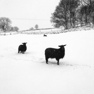Dog having a laugh behind two sheep. We got a right load of snow yesterday. It's on its way out but more forecast - we're obsessed with weather. The sheep at the front is a Black BFL X Black Wensleydale and the one behind is a pure Black Wensleydale. The one behind is a dog having fun #blacksheep #sheep #snow #winter #snowday #farm #farmlife #white #blackandwhite