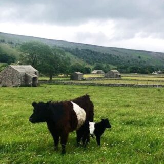 Lovely heifer calf born this week to Clifton Lothario @clifton_belted_galloways #beltedgalloway #calf #heifer #farmlife #yorkshiredales