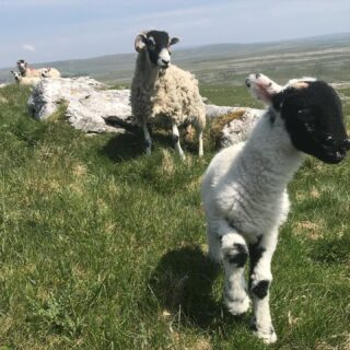Still lambing Swales. A great week to be born! Wall to wall sunshine but cooler on the tops. A tup lamb #late #latelambing #farmlife #farm #sheep #organic #pasturefed #sheep #swaledale