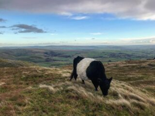 Autumn grazing - grass losing nutritional value but Belties (and other native breeds) can make the best of it. Cows will stay up here all winter now keeping dense grass down ready for spring #nativebreed #beltedgalloway #yorkshiredales #farmlife #conservationgrazing #hills #view