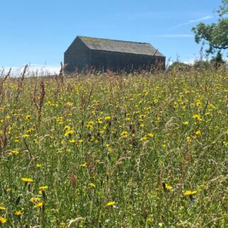 It's #nationalmeadowsday. Photos from two meadows we farm; one unimproved for decades and one restored a decade ago with help from the super @yorkshiredalestrust Hay Meadows Project. So many reasons to let meadows grow. They're part of our ecosystem here - if you have a meadow you have life - everything from invertebrates, insects, amphibians, mammals and birds. Plus, tons of botanical species which in themselves are deserving of growth. We're v late cutters to give longevity to all the species who use it. Selfishly, managing meadows gives me personal joy and that's a real privilege but as habitat they're vital. We've lost 97% of them in UK and kudos to all our insta pals who have retained or restored them. Look at @plantlife.loveplants @pastureforlife for more info about their value and what everyone can do on their patch - large or small See more meadow managers/enthusiasts/farmers @summerinthemeadow @altrayner @lynbreck_croft @bella_millbarton @jrfromstrickley @herdyshepherd1 #meadow #haymeadow #uplands #farm #farming #farmlife #meadowflowers #meadows #wildflowers #wildflowersofinstagram