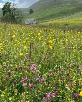 Meadow in full swing and full of life. I'll try and do some live stuff this week having a closer look at species. It's been really windy this week so you wouldn't have heard me. Mic recommendations (with wind resistance) very welcome! #meadow #wildflowers #habitat #farm #farmlife #yorkshiredales #haymeadow #traditional #oldfashioned #farming #nature