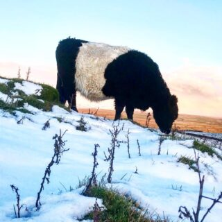 Winter grazing at sunset. Luckily not too much snow and most of it's gone now. Still plenty of grass and important to graze it down over winter - they will forage through the snow. The cows prevent upland grass becoming thick and rank so wildflowers and herbs can come through in Spring. No need for hay yet but we'll see how winter goes #beltedgalloway #nativebreed #farmlife #cow #sbow #malham #yorkshiredales #hills #snow #winter